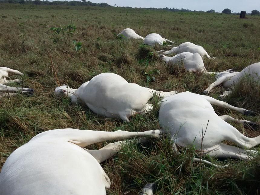 Agropecuarista tem 12 animais mortos por envenenamento em Esperantina